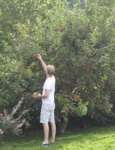 Militärpappan plockar äppel