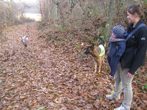 För att komma till hästarna gick vi 500 m genom skogen och lyckligast av alla var Vackraste hunden som röjde loss bland löven. Vi andra stod mest och tittade på... Och höll oss undan, för hon springer lätt in i vem som så man välter och det ville vi ju inte. Undra är är till vänster i bild och det är ingen tillfällighet att rasen kallas för spökhunden...